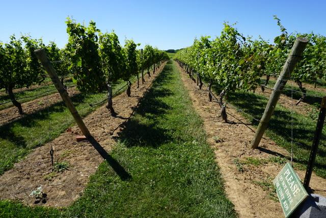 Pinot Blanc On Long Island Socialvino